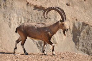 צילום: https://he.wikipedia.org/wiki/%D7%99%D7%A2%D7%9C#/media/File:PikiWiki_Israel_38769_Male_Ibex.jpg